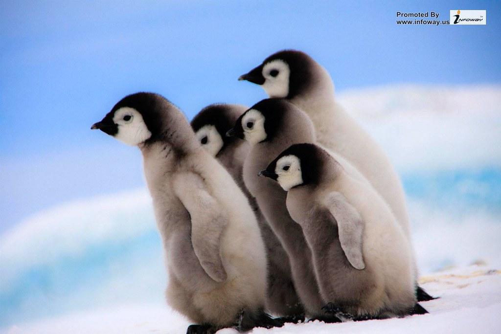 Penguins Child Wallpaper
