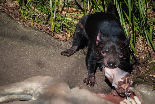 Tasmanian Devil Feeding Time