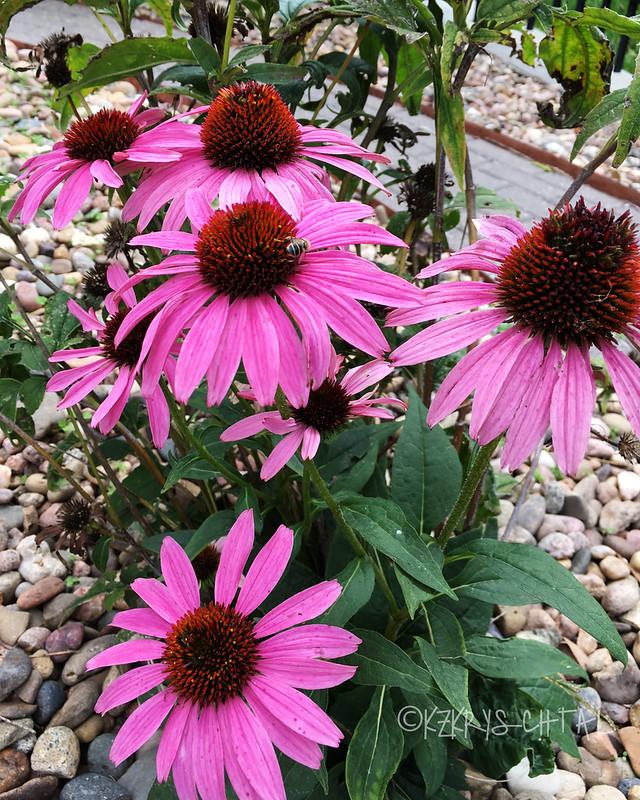 IMG_5745Coneflowers