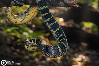 A Sunning Wagler's Pit Viper- Tropidolaemus wagleri ♀ | by PF T.J.