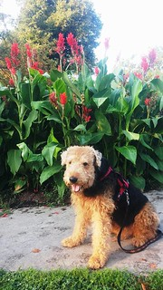Airedale Posing with the Posies | by Lulu Höller