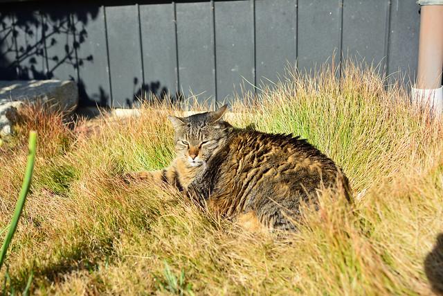 民家の庭先でうたた寝するネコの写真