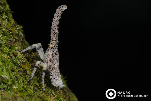 Lantern Bug Nymph (Zanna sp.) | by Pixels Dimension
