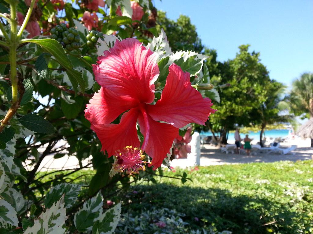 Hibiscus flower jamaica elizabeth k joseph flickr hibiscus flower jamaica by pleia2 izmirmasajfo