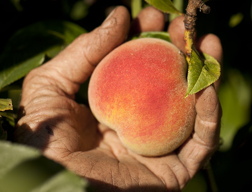 Peach in a hand | by Oregon Department of Agriculture