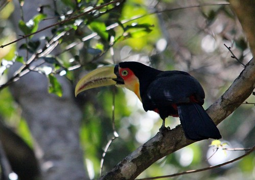 Red-breasted Toucan | by Birding In New Jersey