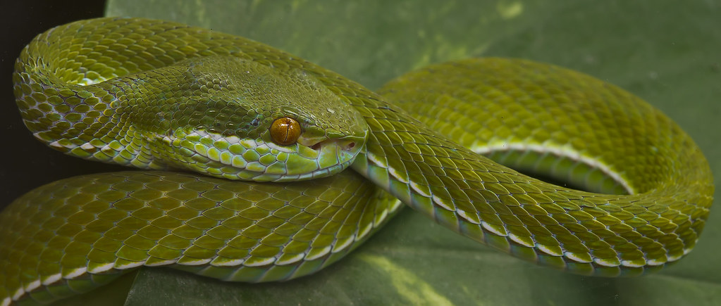 Green Pit Viper Weisslippen Bambusotter Pe Ha45 Flickr