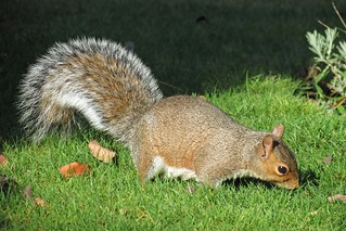 Squirrel Bushy Tail | by Daisy Waring World
