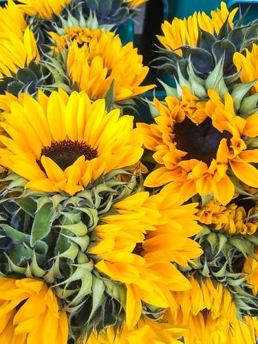 prosit in schwarzwald, october 2016 - sunflowers in heidelberg
