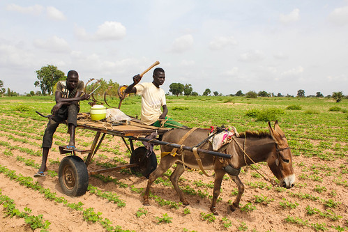 Stunted crops in the Kaffrine region of Senegal are the result of a lack of rainfall | by World Bank Photo Collection