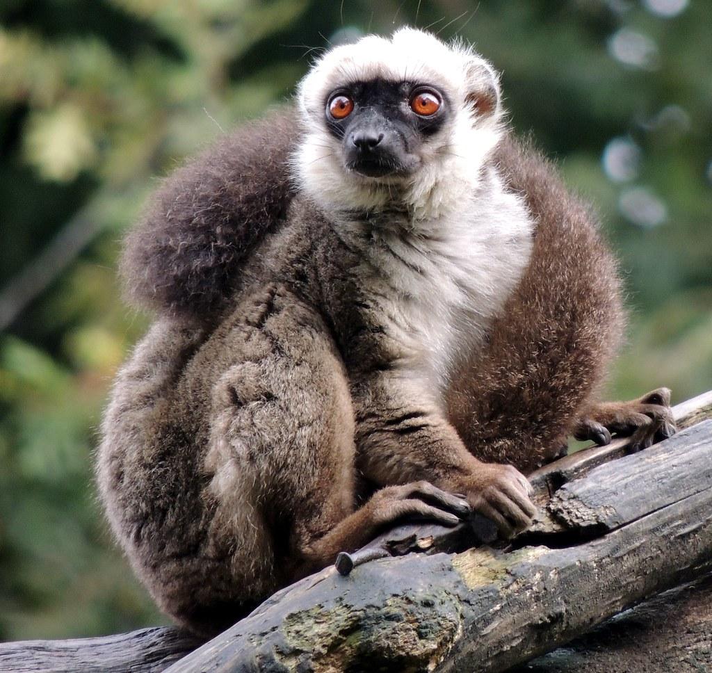 Lemur Volador De Filipinas