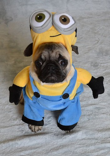Boo The Minion Pug Boo The Pug Dapuglet Flickr