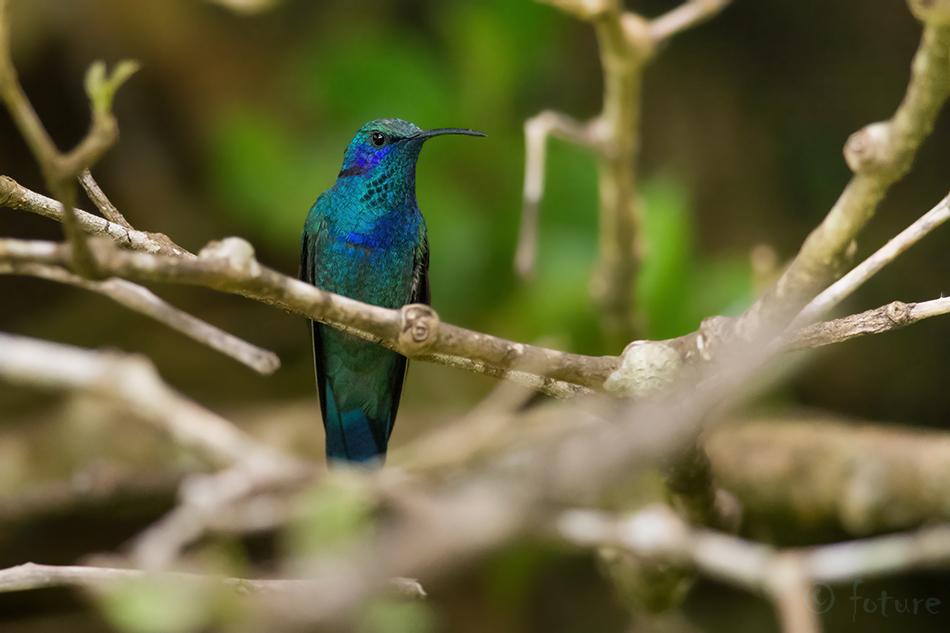 Colibri, cyanotus, cabanidis, Lesser, violetear, Mountain, Curi, Cancha, Reserve, Monteverde, Costa, Rica, Kaido Rummel