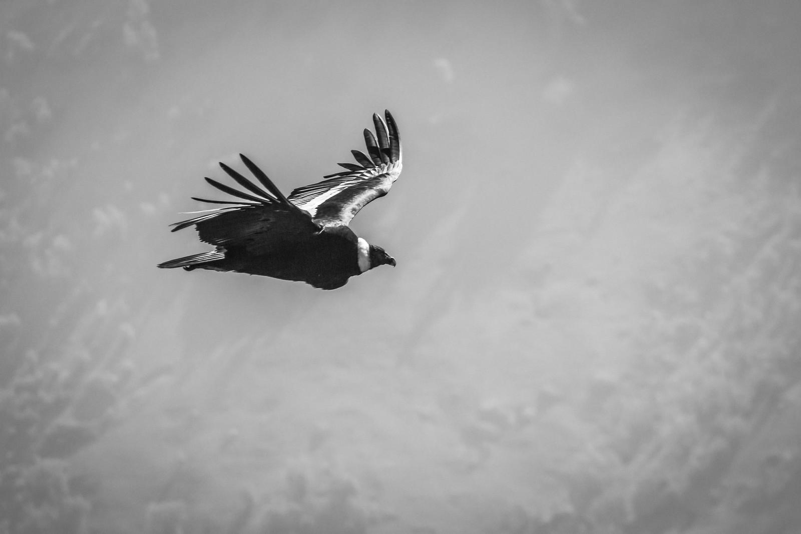 condor | by Flavio_Camus