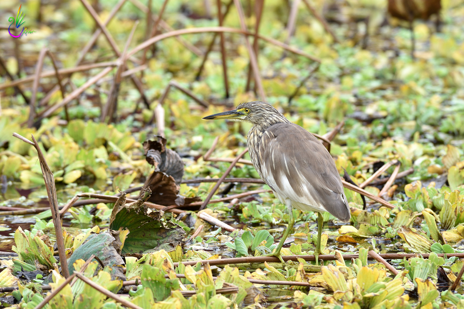 Chinese_Pond_Heron_3376