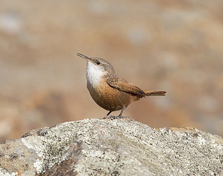 canyon wren | by hawk person
