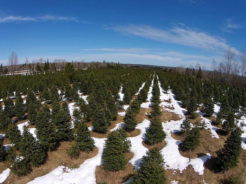 hilltop christmas tree farms new brunswick canada by hilltop christmas trees - Hilltop Christmas