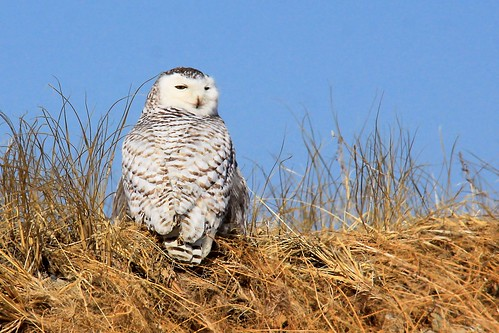 Snowy Owl 2011-2014