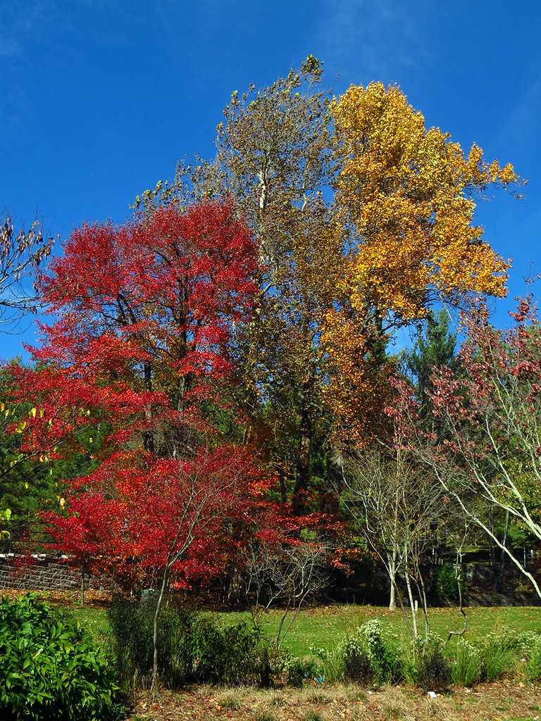 Red and Yellow | Many of the trees around Boone are dropping… | Flickr