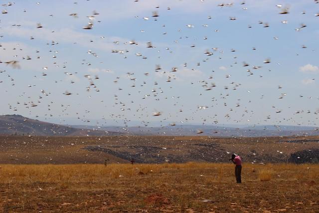 First locusts spotted / premiers criquets repérés