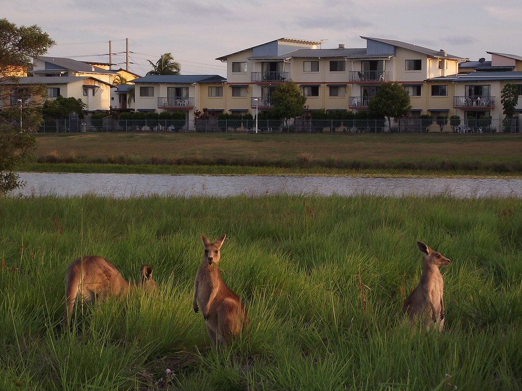 Kangaroos By The Lakes Near UniCentral USC Sippy Downs Flickr - Map of usc sunshine coast