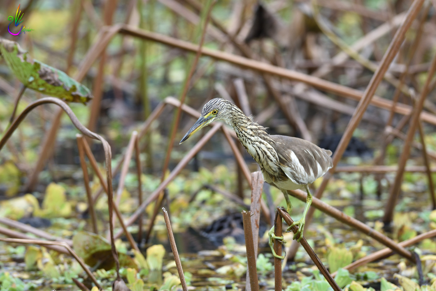 Chinese_Pond_Heron_3083