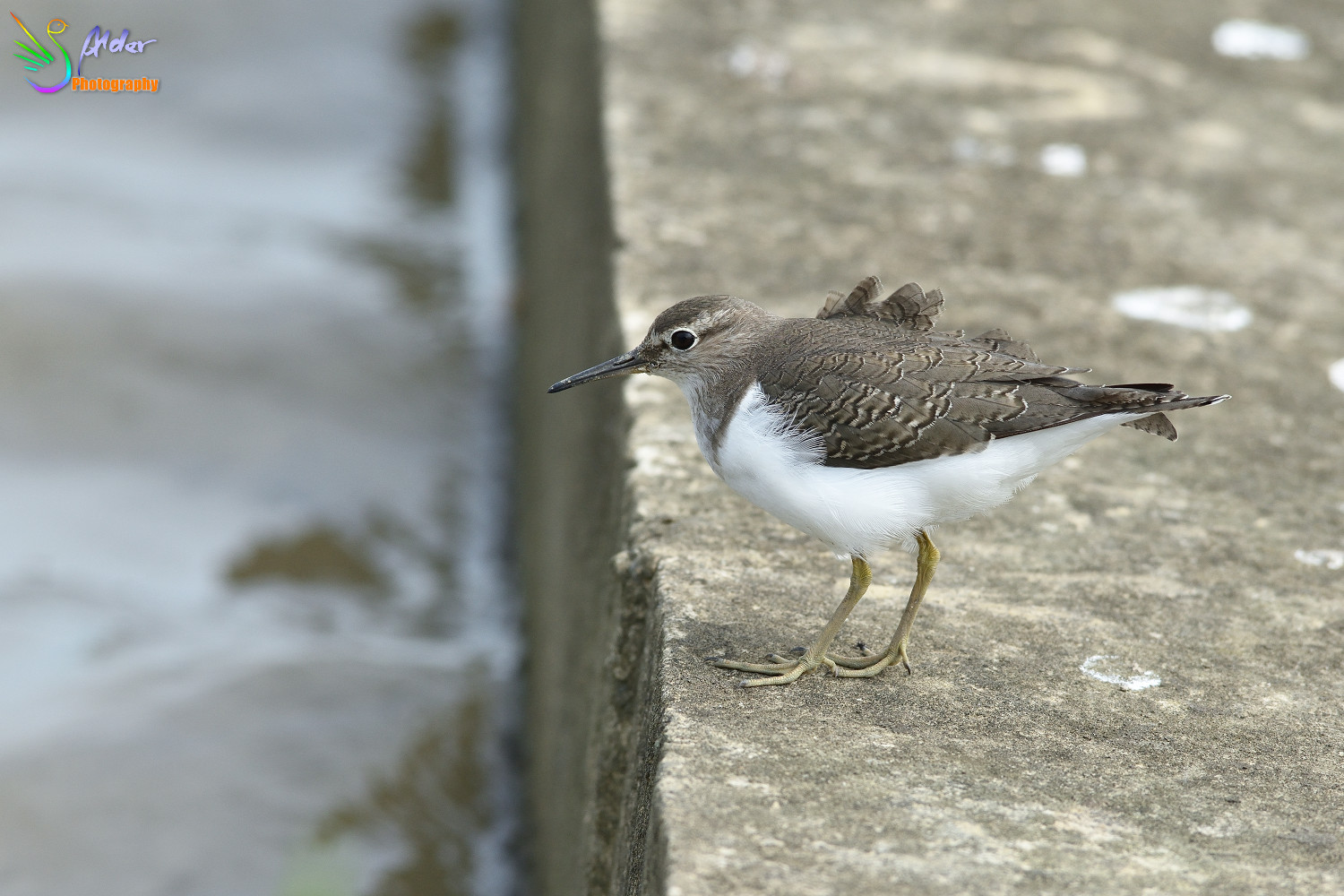 Common_Sandpiper_2684