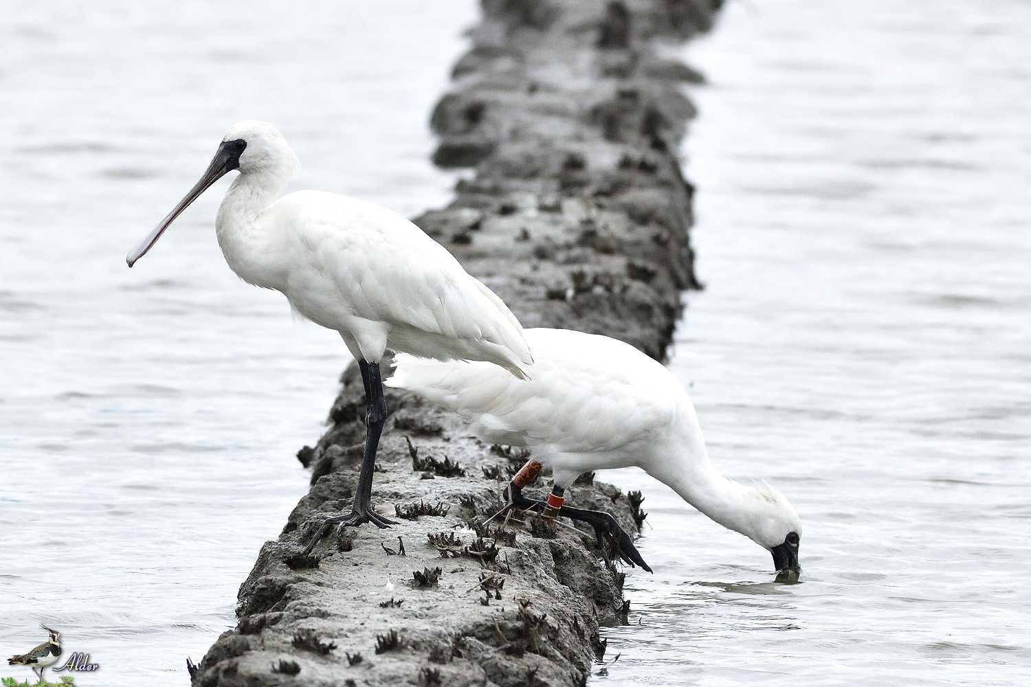 Black-faced_Spoonbill_5257