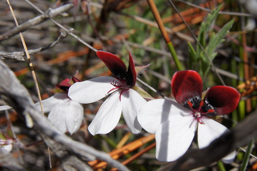 Pelargonium tricolor. Klein Karoo, Western Cape, South Africa