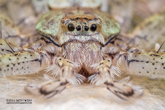 Huntsman spider (Pandercetes sp.) - PA090154