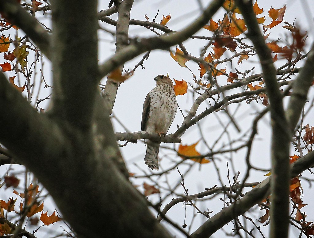 Cooper's hawk on Thanksgiving
