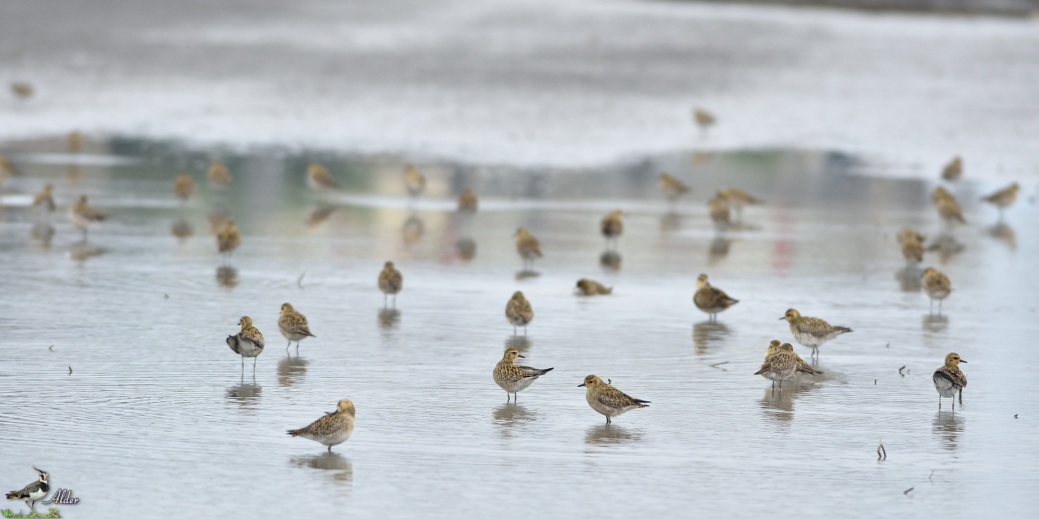 Pacific_Golden_Plover_4470