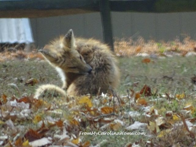 Fox visit November at From My Carolina Home