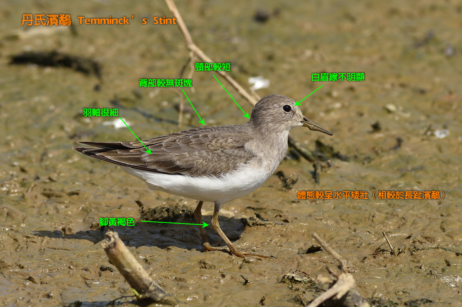 Temminck_Stint_0872_describe