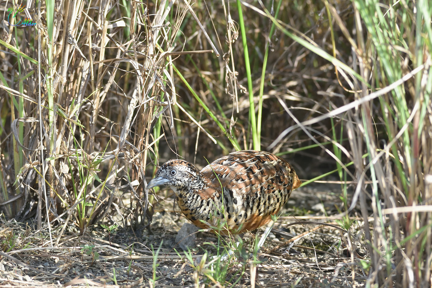 Barred_Buttonquail_2583