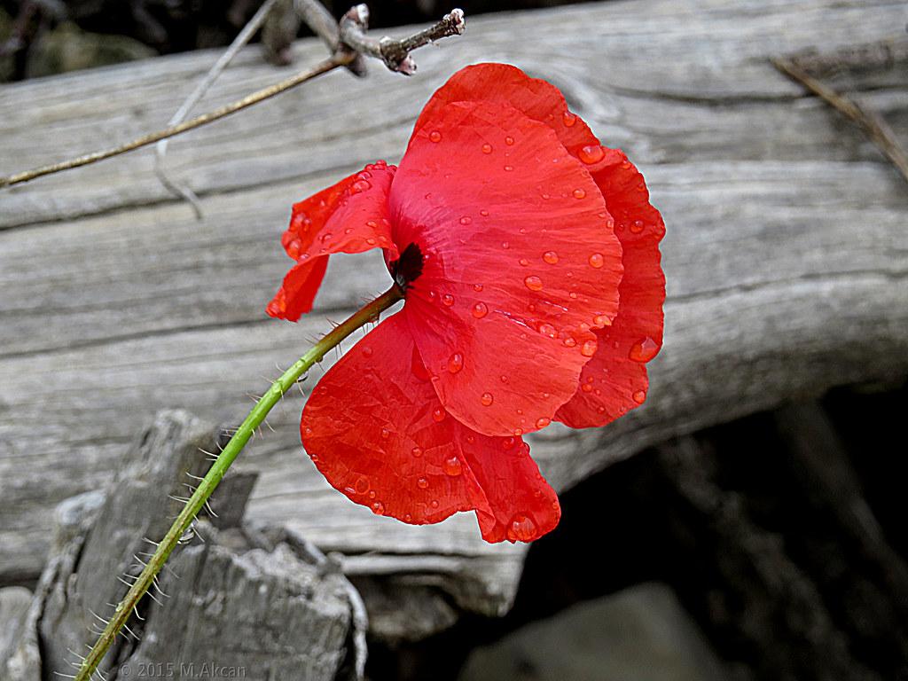 gelincik çiçeği ile ilgili görsel sonucu