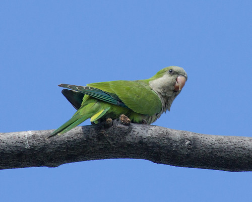 Monk Parakeets of Green-Wood Cemetery in Brooklyn