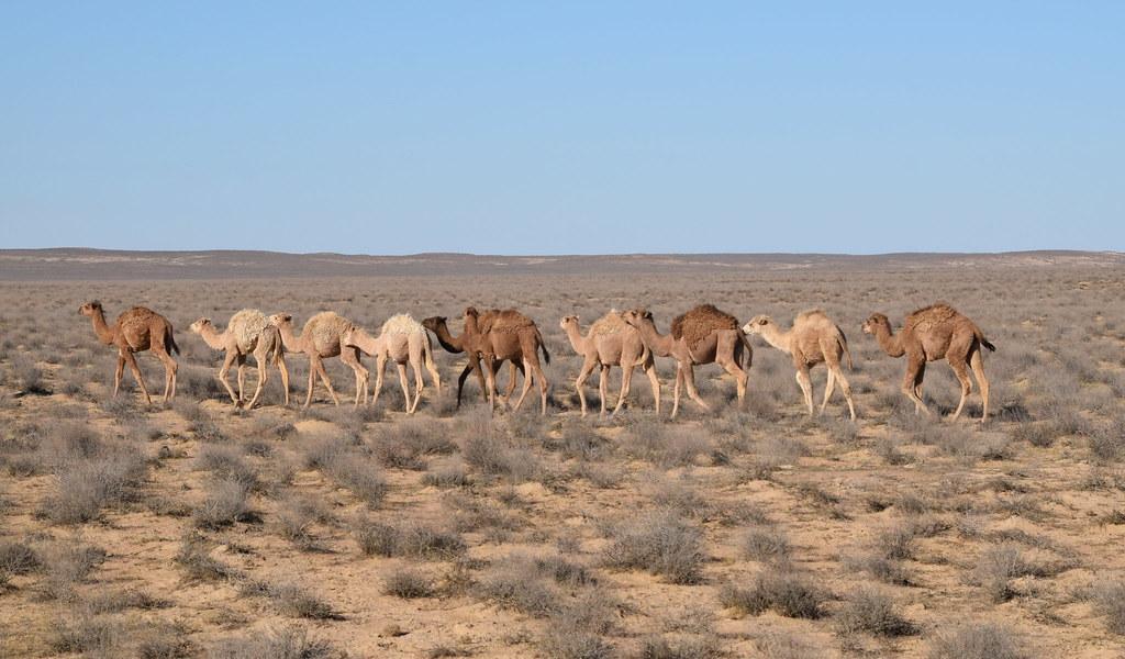 Image result for turkmenistan Camel
