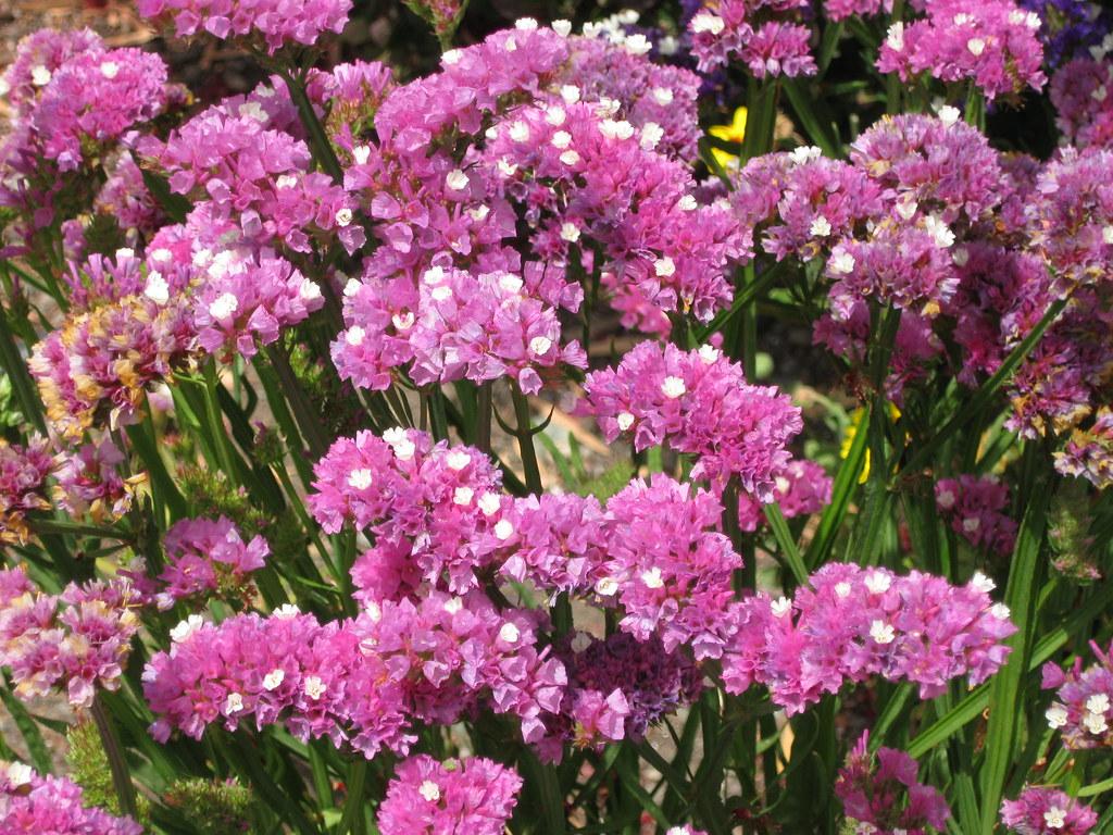 Pink Statice Flower Todd Martin Flickr