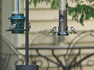 Black-capped Chickadees 20150906 | by Kenneth Cole Schneider