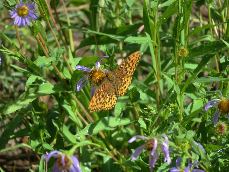 Fritillary butterfly on some leftover aster