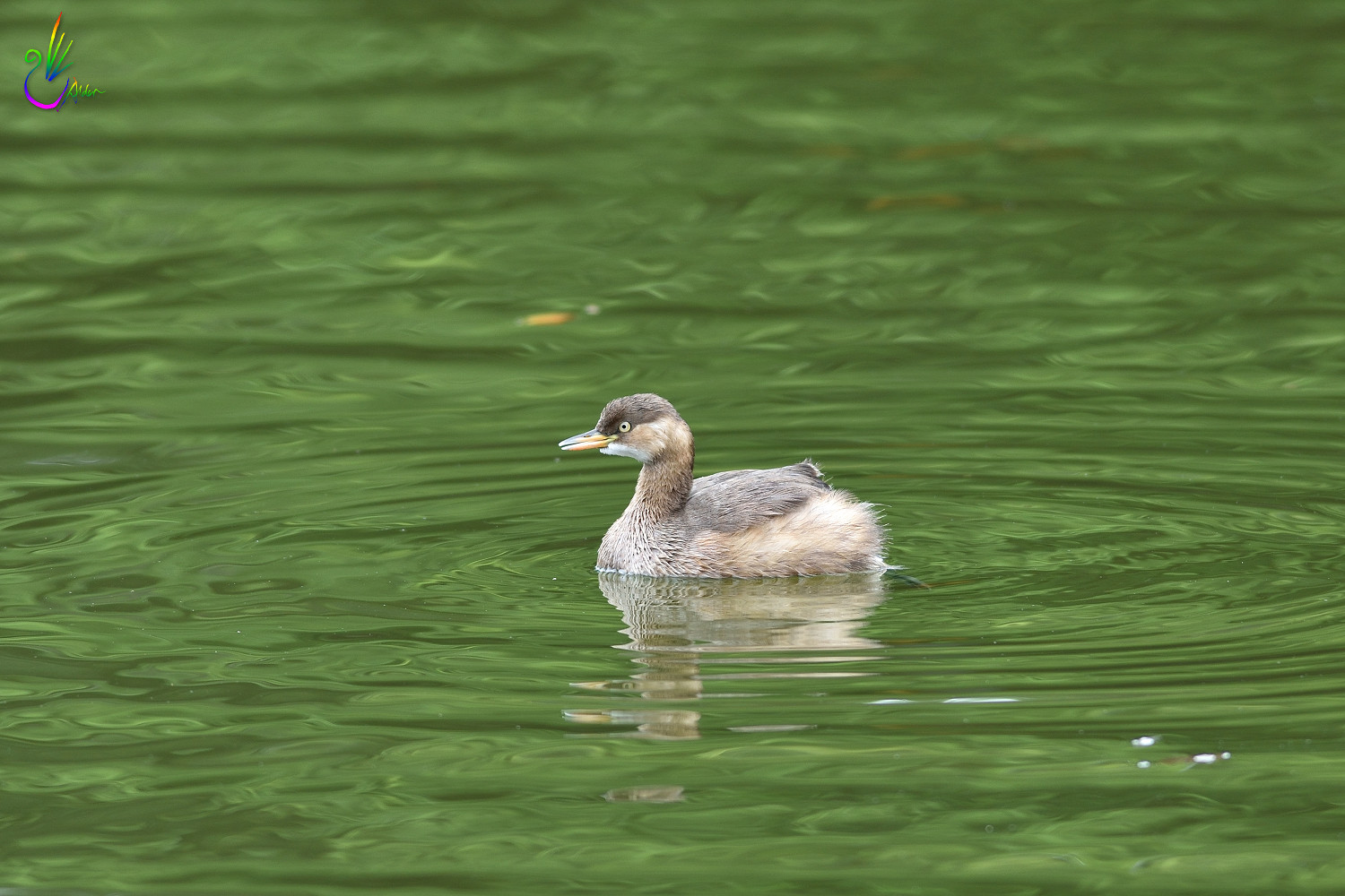 Little_Grebe_1317