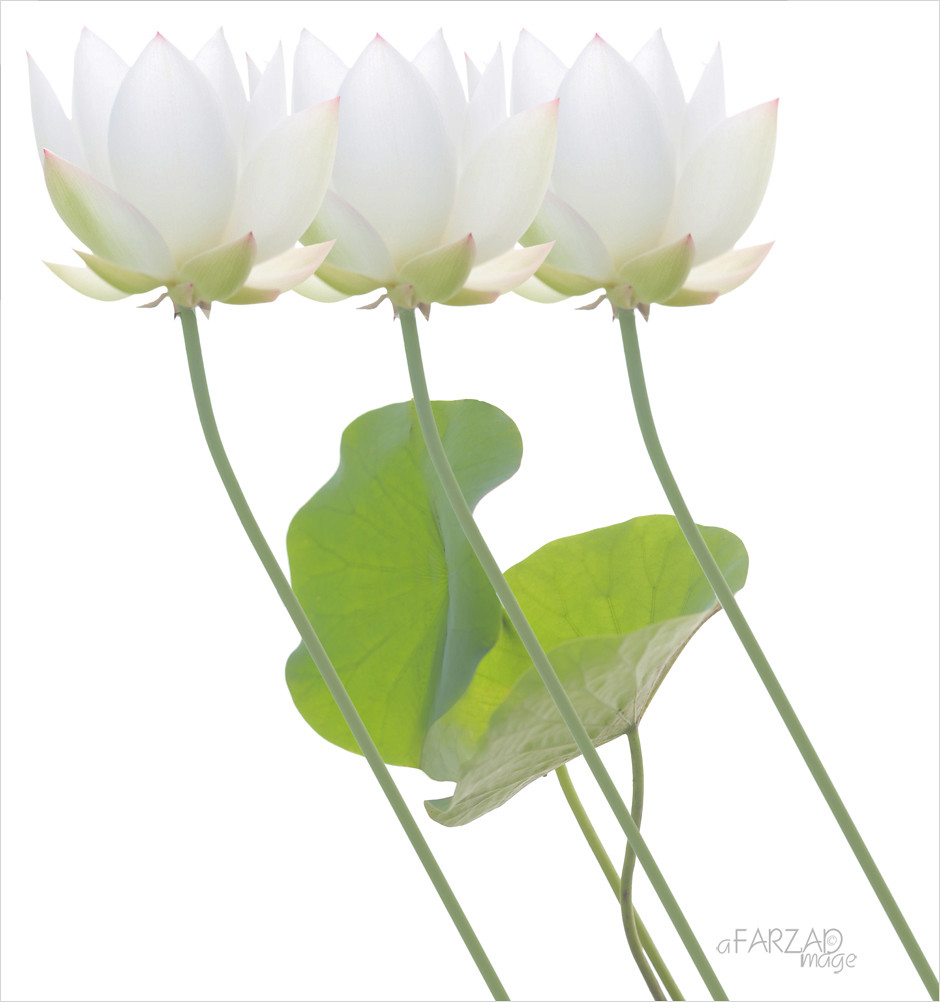 White lotus flower design white lotus flower design flickr white lotus flower design by bahman farzad izmirmasajfo