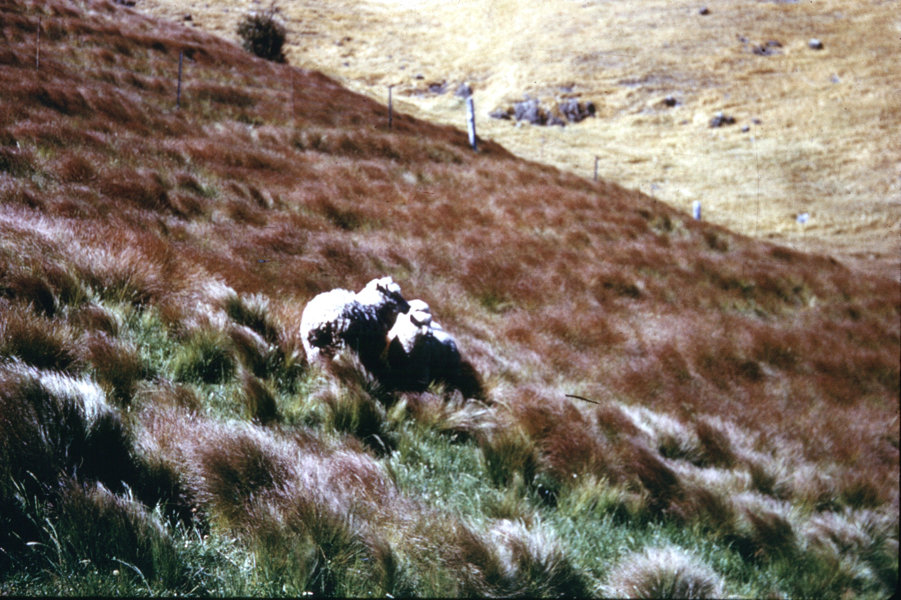 An old photo showing large areas  covered in Nassella Tussock.