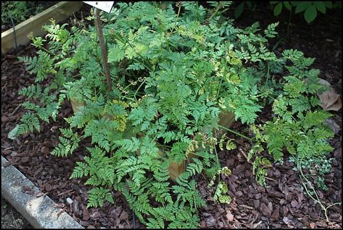 Myrrhis odorata - cerfeuil musqué  22027839536_d0a3ecb7d0