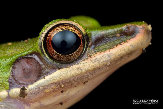 Copper-cheeked frog (Hylarana labialis) - PA080052