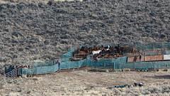 Beaty Butte wild horse gather, 2015