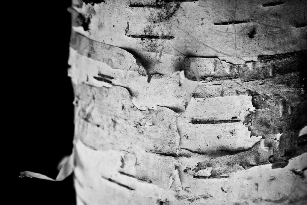 Birch Detail