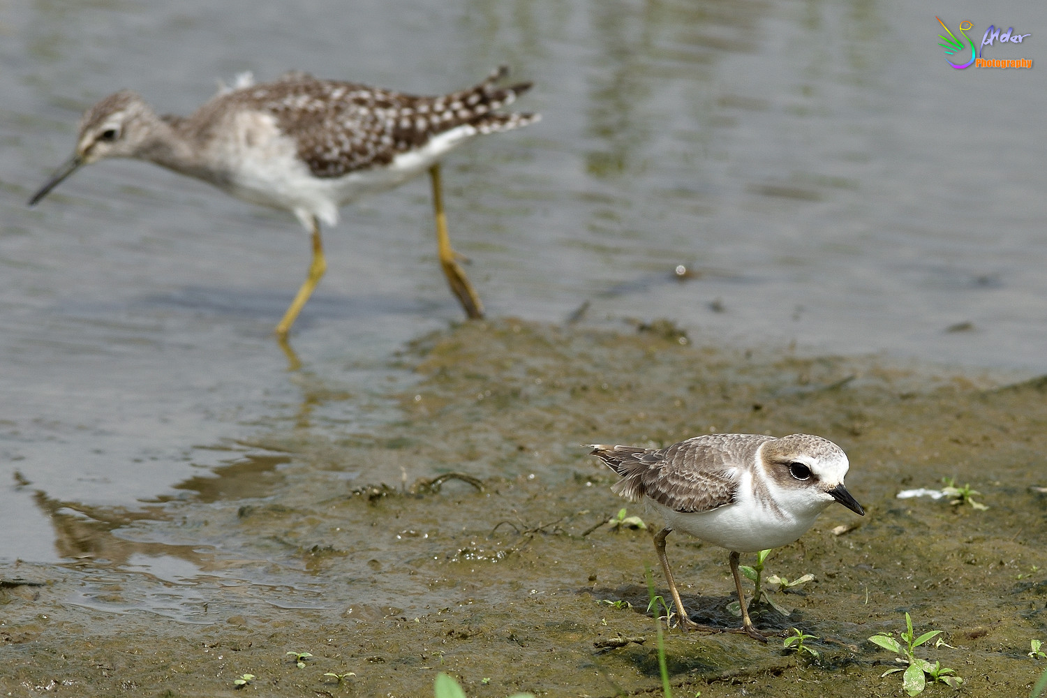 Kentish_Plover_3178