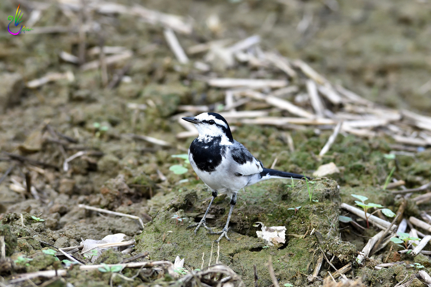 White_Wagtail_2512